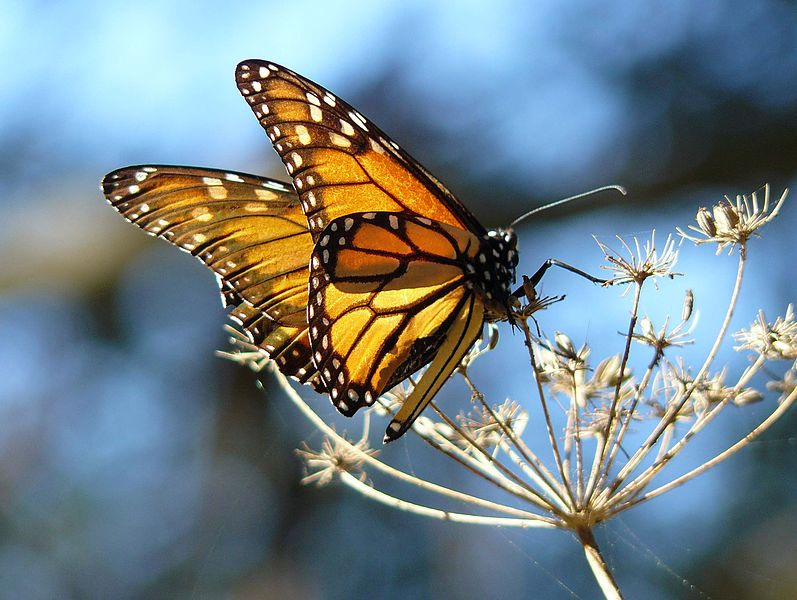 Monarch on fennel, by Joyce Corey